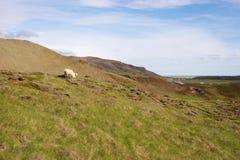 Får i grässlättar av Island Arkivfoton