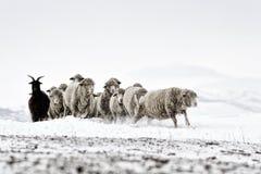 Får i kallt vitt vinterlandskap Arkivfoto