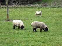 Får i Northumberland, England, UK Royaltyfri Fotografi