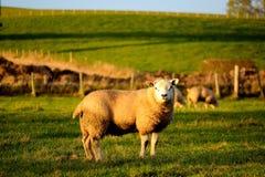 Får i Skottland Arkivfoto