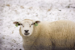Får i snön Royaltyfri Bild