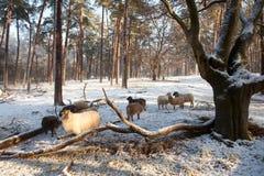 Får i vinterskog i Nederländerna Fotografering för Bildbyråer