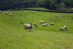 Får i walesiskt fält Royaltyfria Bilder