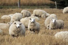 Får med den fulla ullbeklädnaden av ull, precis innan sommarklippning Royaltyfria Bilder