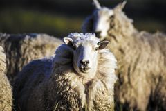 Får med den fulla ullbeklädnaden av ull, precis innan sommarklippning Arkivfoton
