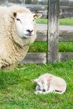 Får med den precis födda lamben fjädrar in Royaltyfri Fotografi