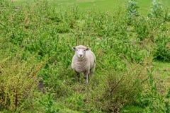 Får med grönt gräs i Nya Zeeland Fotografering för Bildbyråer