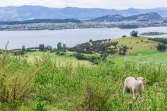 Får med grönt gräs i Nya Zeeland Arkivfoto