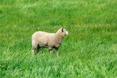 Får med grönt gräs i Nya Zeeland Royaltyfri Foto