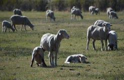 Får med lamm i vår betar i Carson City Nevada Royaltyfri Fotografi