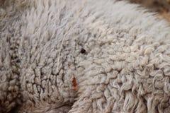 Får med ull i wildpark i Bad Mergentheim arkivbild
