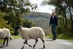 Får och bonde som korsar vägen i sjöområde Royaltyfri Bild