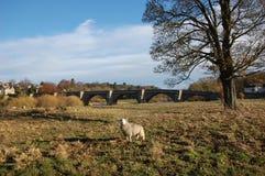 Får och bro på Corbridge Royaltyfri Fotografi