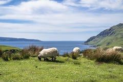 Får och geten på fjärden kallade Camas nan Geall, Ardnamurchan Royaltyfri Bild