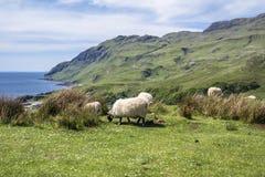 Får och geten på fjärden kallade Camas nan Geall, Ardnamurchan Royaltyfria Bilder