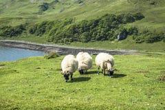 Får och geten på fjärden kallade Camas nan Geall, Ardnamurchan Royaltyfri Fotografi
