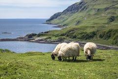 Får och geten på fjärden kallade Camas nan Geall, Ardnamurchan Arkivbild