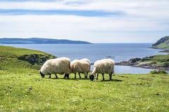 Får och geten på fjärden kallade Camas nan Geall, Ardnamurchan Arkivfoton
