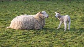 Får och lamb Arkivfoto