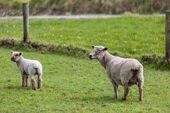 Får och Lamb Royaltyfri Foto