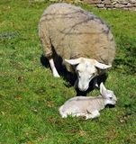 Får och Lamb Arkivbild