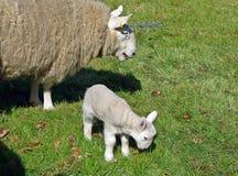 Får och Lamb Royaltyfria Bilder