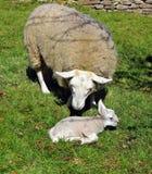 Får och Lamb Arkivfoton