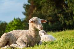 Får och lamm i gräset Arkivfoto