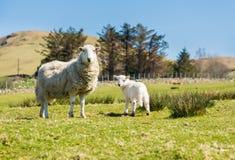Får och lamm i welsh berglantgård arkivbilder