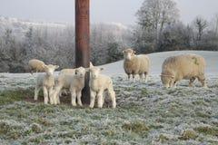 Får och lamm som betar i vinter Arkivfoto