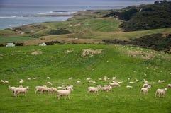 Får och lamm som betar på pittoreskt landskap i Nya Zeeland Royaltyfri Bild