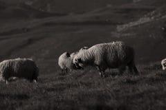 Får på bergmaxima Fotografering för Bildbyråer