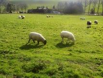 Får på Crookham, Northumberland, England Royaltyfri Foto