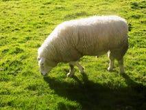 Får på Crookham, Northumberland, England Royaltyfria Bilder