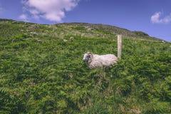 Får på de gröna fälten av den Hollywood byn i den svarta dalen, ståndsmässiga Kerry royaltyfri fotografi