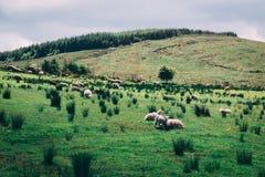 Får på de sceniska fälten av den svarta dalen i ståndsmässiga Kerry, Irland Royaltyfri Foto