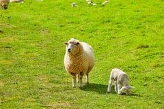Får på den Abbotsbury swanneryen i Dorset Royaltyfria Bilder