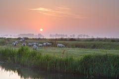 Får på dimmigt betar vid floden på soluppgång Arkivfoton