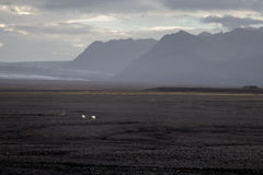 Får på fält för vulkanisk aska i Island Royaltyfria Bilder
