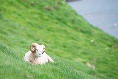 Får på Faroeen Island Royaltyfria Bilder