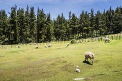 Får på gräsplan betar och skogen Arkivbild