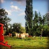 Får på lantgård Arkivbild