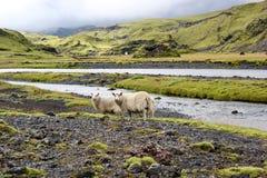 Får på lavafältet, Eldgja, Island arkivfoton