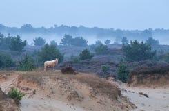 Får på sanddyn i dimmig morgon Royaltyfri Fotografi