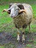 Får ram med horns över grönt gräs arkivbild
