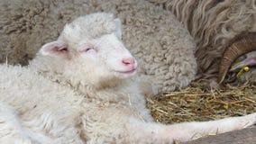 Får samlas att ligga på torrt gräs i sheepfold Sheeps som äter hö i lantgården arkivfilmer