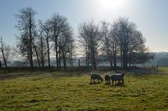 Får som betar i det Sussex fältet Royaltyfri Bild
