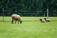 Får som betar i en gräsplan, betar Royaltyfri Foto