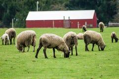 Får som betar i en gräsplan, betar Fotografering för Bildbyråer