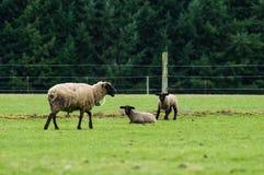 Får som betar i en gräsplan, betar Royaltyfria Foton